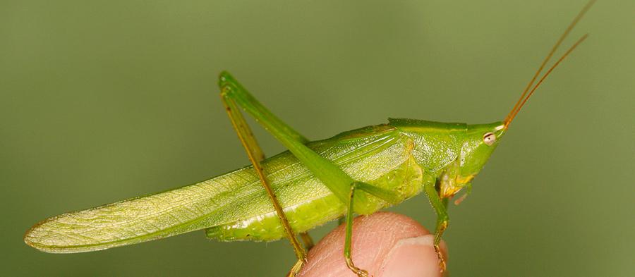 Biologové zmapovali přesun teplomilné kobylky zjihu